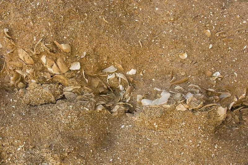 Layer of coquina in a calcarenitic limestone